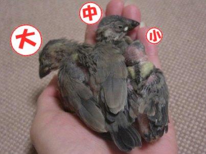 文鳥 023