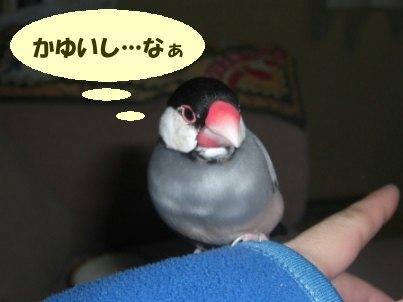 文鳥 002