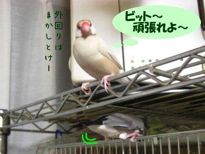 文鳥 007