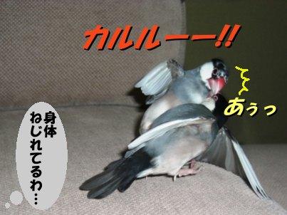 文鳥 008