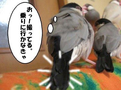 文鳥 017