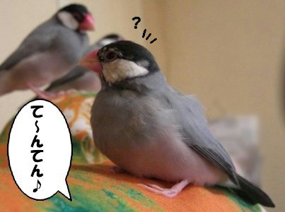 文鳥 009