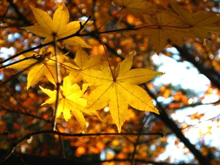 blog_kiiromomiji291108.jpg