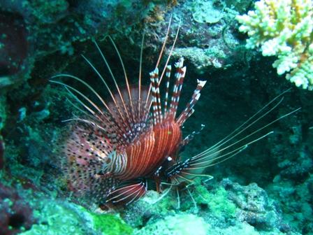 blog_lionfish130908.jpg