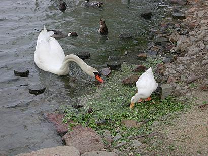 白鳥とアヒル