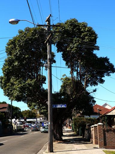 Tree in Ashfield