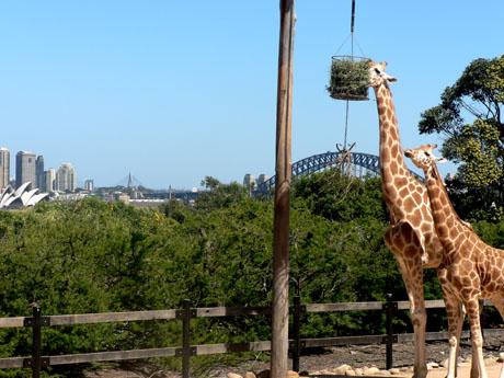 Taronga Zoo キリン