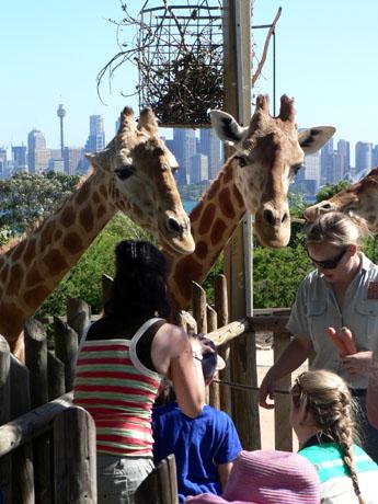 Taronga Zoo kirin2