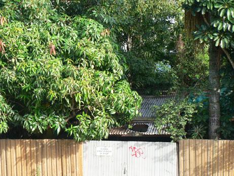 mango tree2