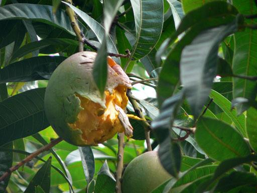 マンゴーの木2