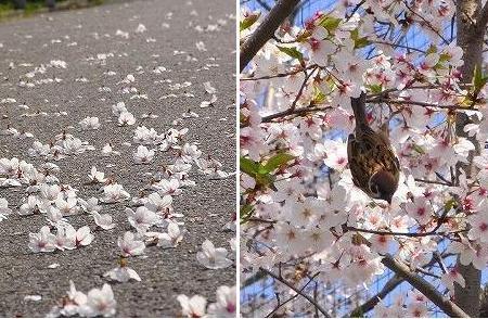 雀による落桜花