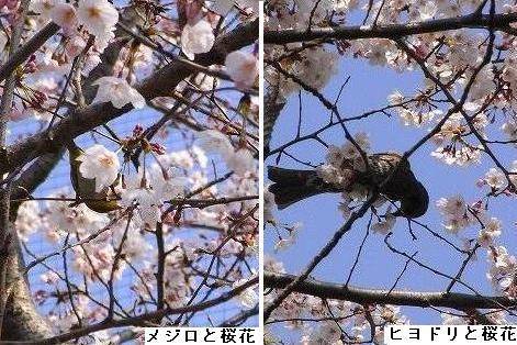 メジロ・ヒヨドリと桜花
