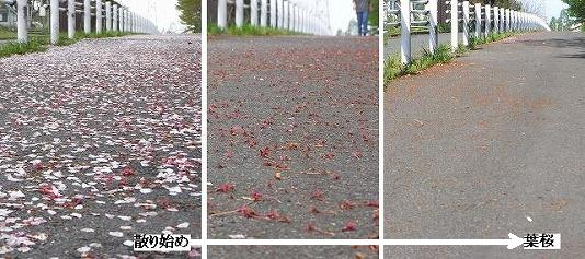 散歩道の散り花