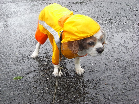 ブルポ雨中トボトボ散歩