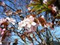 よその桜2009.05.09_1