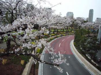 080329_midtwon-sakura.jpg