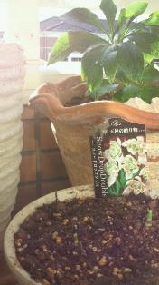 スノードロップ * ダブルの芽