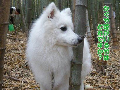 かぐや姫がいる竹はどこです?