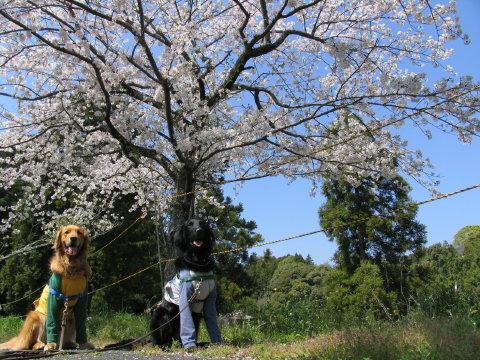 桜とちぇりちゃむ2