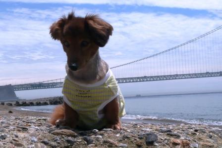 ゴンと明石海峡大橋