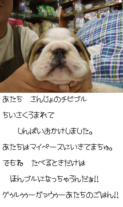 chibi-buru-sanjyo-1.jpg