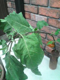 なすびの葉