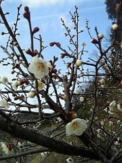 うちの梅の花