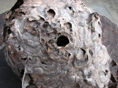 ハチの巣ミイラ