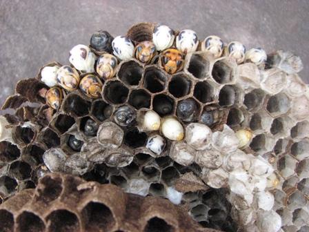 ハチのベビールーム