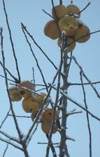 IMG_4581枝りんご