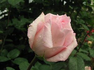 IMG_6425薔薇1