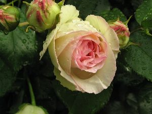 IMG_6422薔薇4
