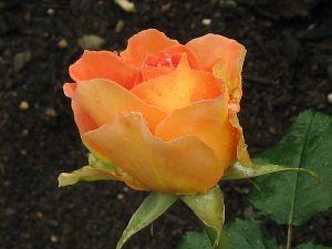 IMG_6421薔薇7