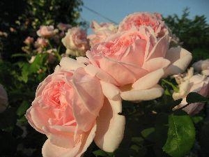 IMG_6485薔薇9