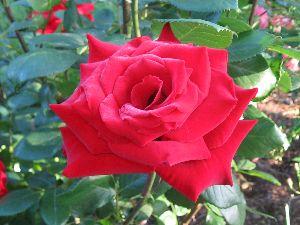 IMG_6481薔薇10