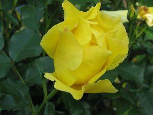 IMG_6482薔薇11