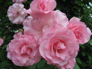 IMG_6557薔薇12