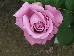 IMG_6561薔薇13
