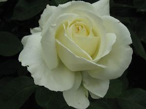 IMG_6565薔薇14