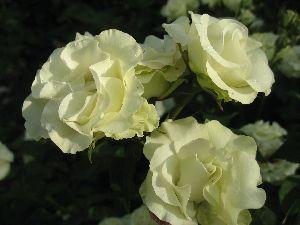 IMG_6595薔薇1