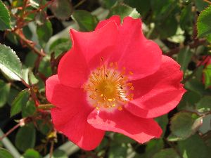 IMG_6597薔薇2