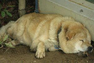 IMG_6718北海道犬