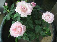 IMG_6720薔薇