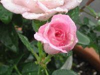 IMG_6864薔薇