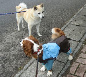 IMG_6984柴犬