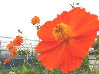 2008_0806画像0009キバナ2