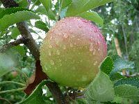 2008_0817画像0003林檎