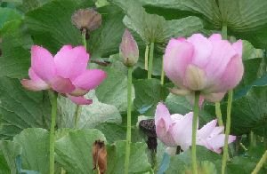 2008_0819画像0002蓮の花