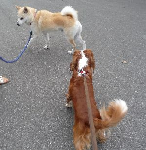 2008_0825画像0005柴犬