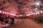 海上八幡宮参道の桜トンネル